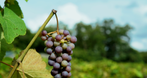 Owl Creek Vineyard. A winery on the Southern Illinois wine trail. Photo by: Matthew McGuire