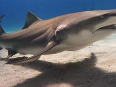 Lemon Shark. Photo by: Albert Kok