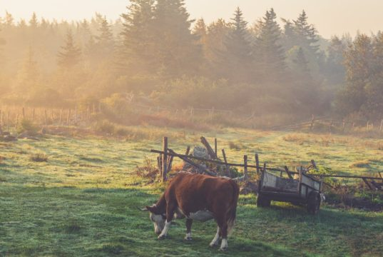 Cattle and climate change. Photo by: Pexels.com